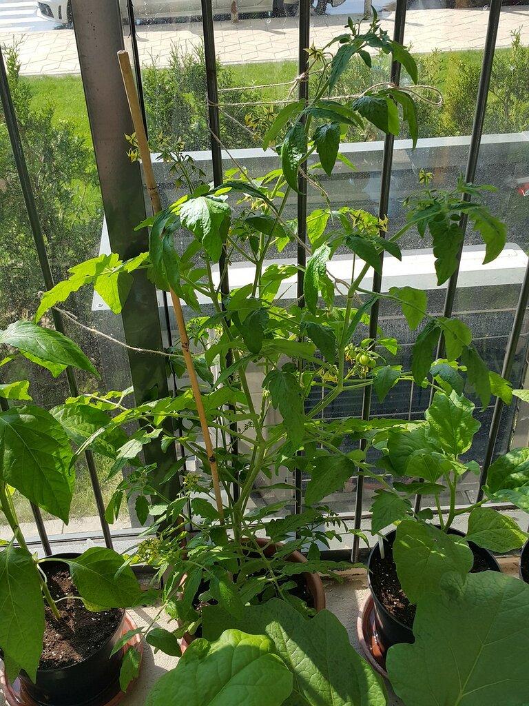 Выращиваю помидоры на балконе в 2016 году - зеленые насажден.