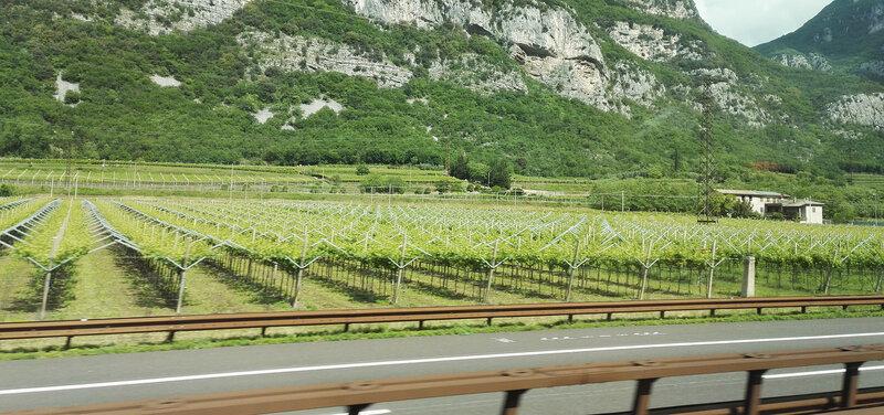 Стройные ряды виноградников