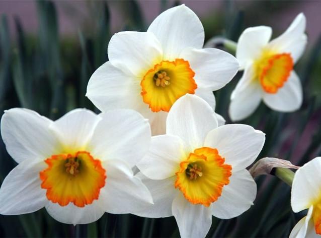 13. Нарцисс Этот символ наступающей весны может нанести значительный вред здоровью. Даже просто нахо