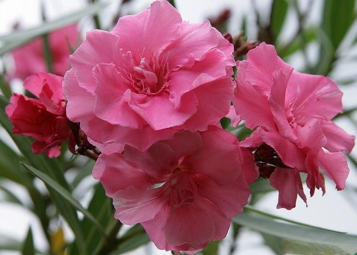 14. Олеандр Не стоит выбирать этот цветок для украшения сада, так как он очень опасен. Всего один ли