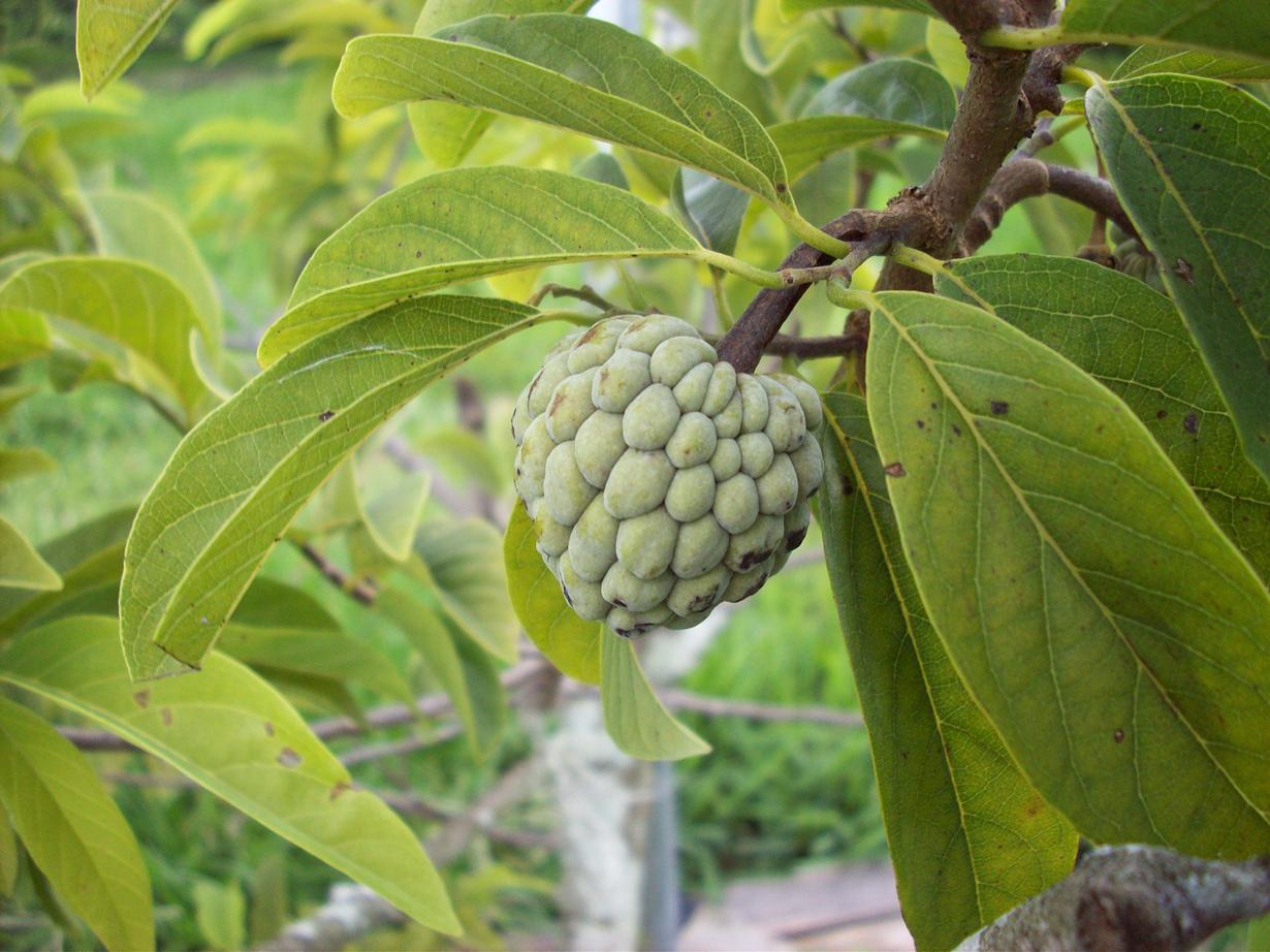 Сахарное яблоко. Плод источает приятный аромат, напоминающий запах абрикоса; вкус — сладкий. (I