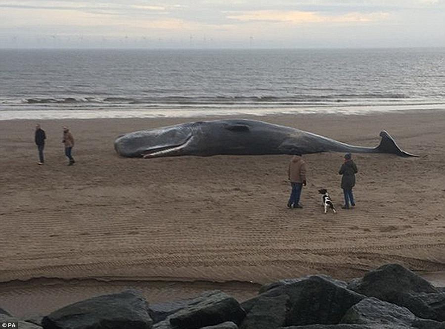 13. Ещё один мёртвый кашалот на побережье в Линкольншире.