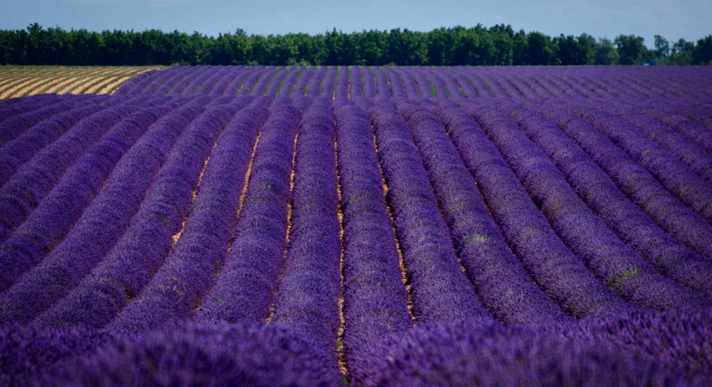 Франция. Область Прованс. Лавандовые плантации. (Ade Russell)