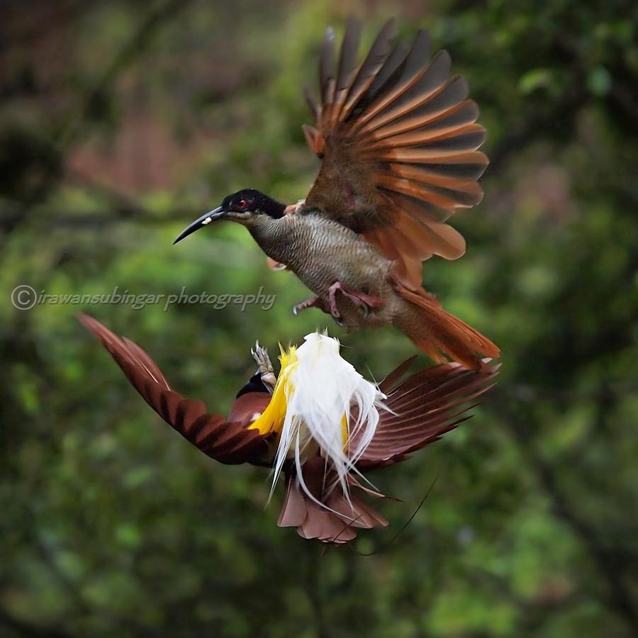 Животные и птицы - Фотограф Irawan Subingar