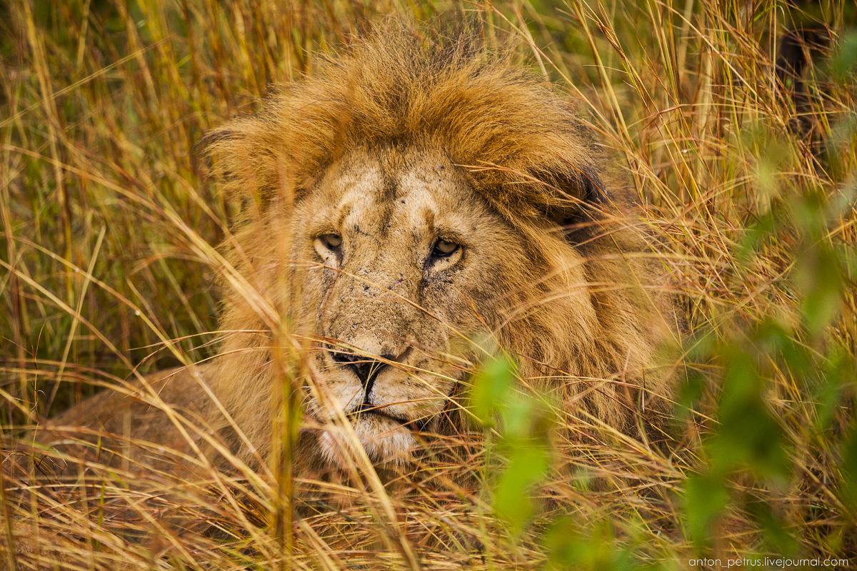 Отзевавшись, лева прорычал что-то и попытался уговорить партнершу на утренний секс. Но что-то видно