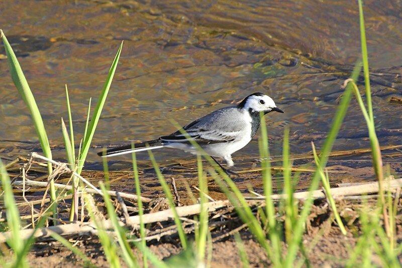 Белая трясогузка (лат. Motacilla alba) прогуливается вдоль берега ручья в поисках пищи