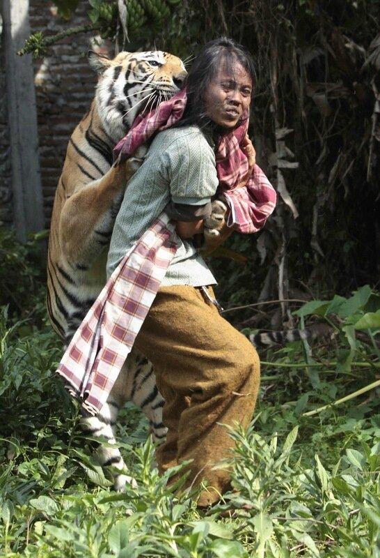 Тигр талисман живет в школе Индонезии   Ласковый, как котёнок!