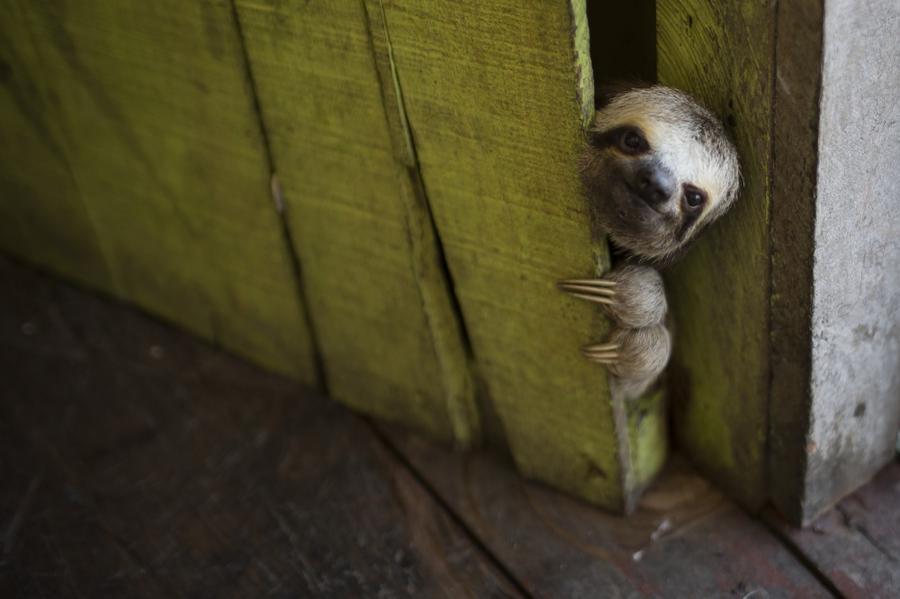 3. Ленивец выглядывает из плавучего дома в Лаго до Джануари в Манаусе, Бразилия 4. Юньнань, КНР.