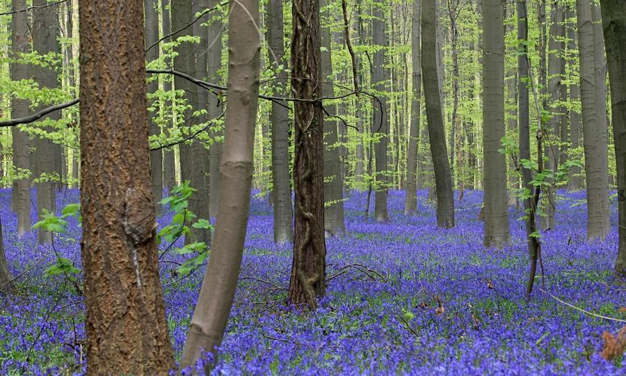 21. Тысячи колокольчиков зацвели в лесу возле Халле, в 15 км к югу от Брюсселя
