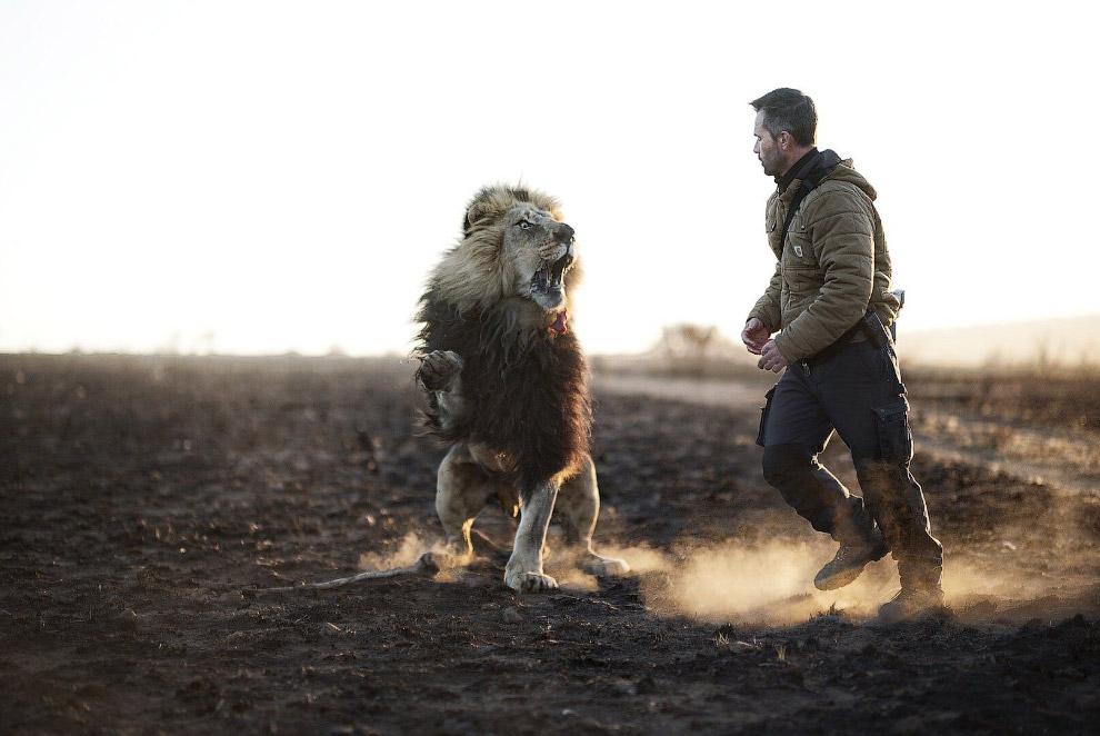 7. Львам люди совершенно неинтересны в качестве пищи, но осторожность — прежде всего. Хищники.