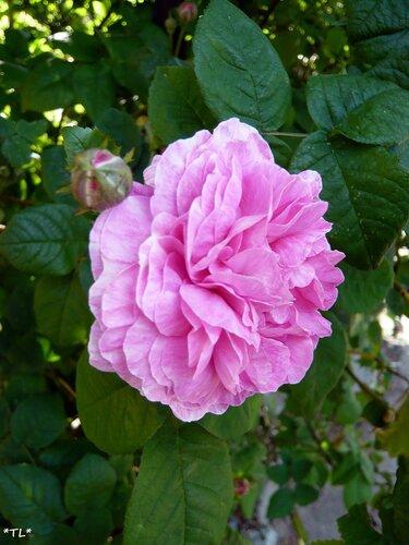 Чайная роза
