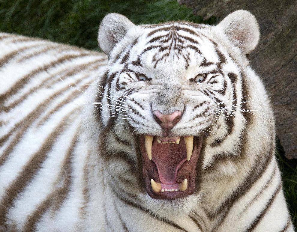 Большой и полосатый. Белый бенгальский тигр, Бельгия. (Фото Yves Herman)