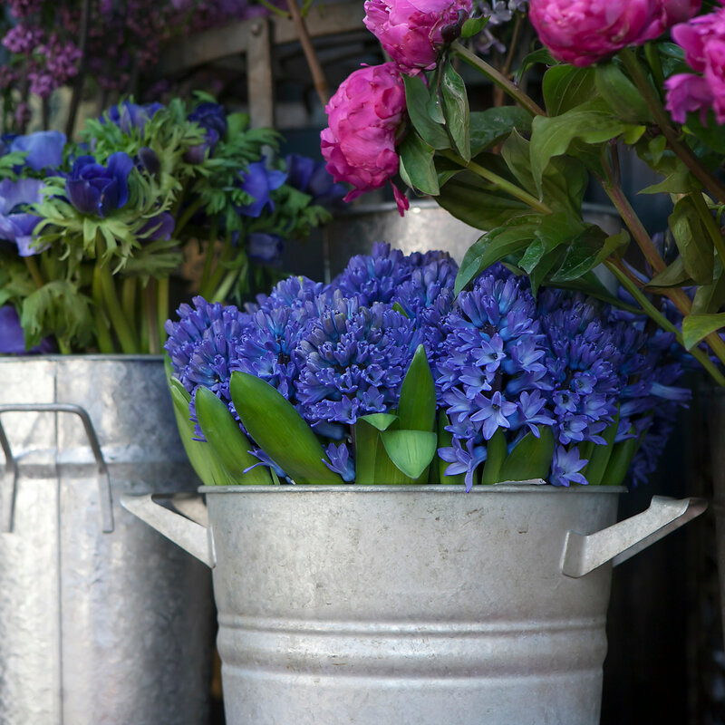 blue hyacinths in an aluminum bucket for sale