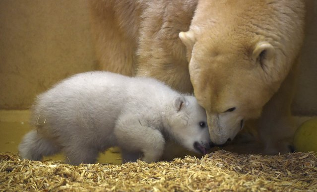 A polar bear cub nuzzles her mother Valeska, in an enclosure at Bremerhaven's (Bremen's) Z