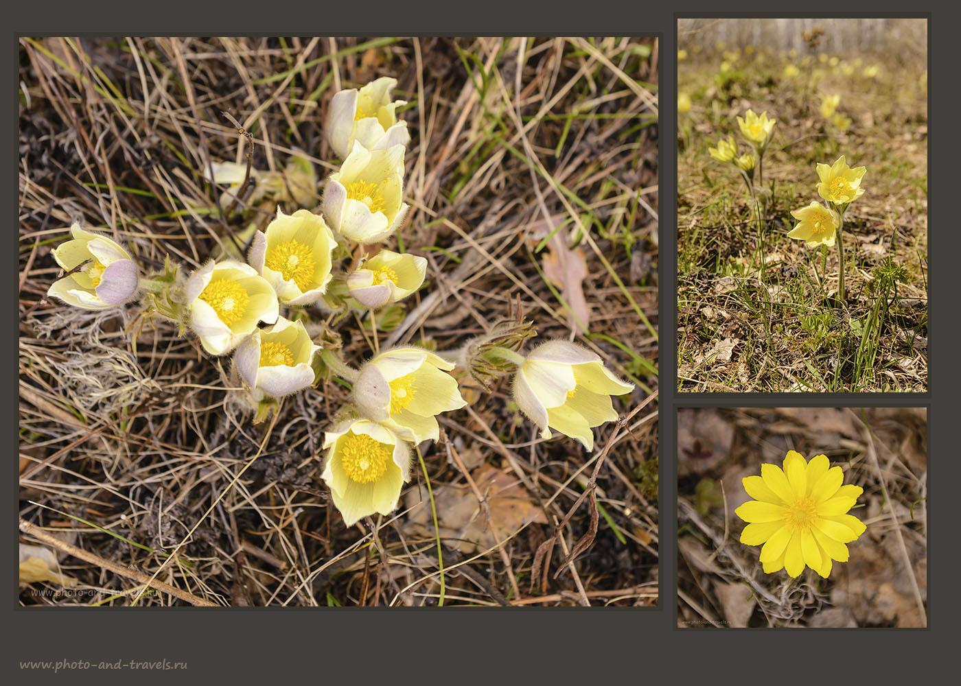 18. Весь склон Нурали весной покрыт одеялом из желтых соцветий сон-травы.