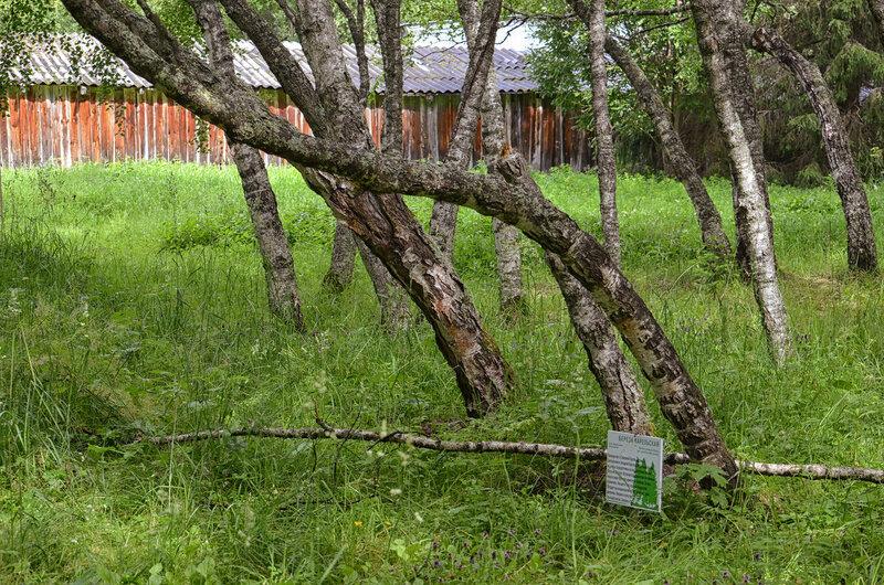 Карельские берёзы
