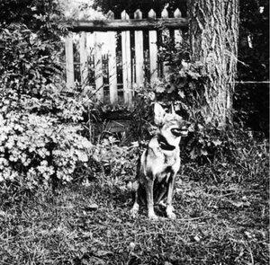Овчарка в саду