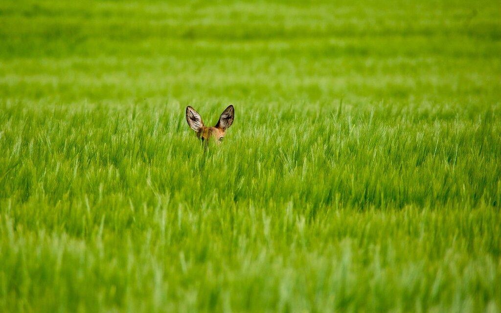 animals_widewallpaper_hiding-in-the-grass_64430.jpg