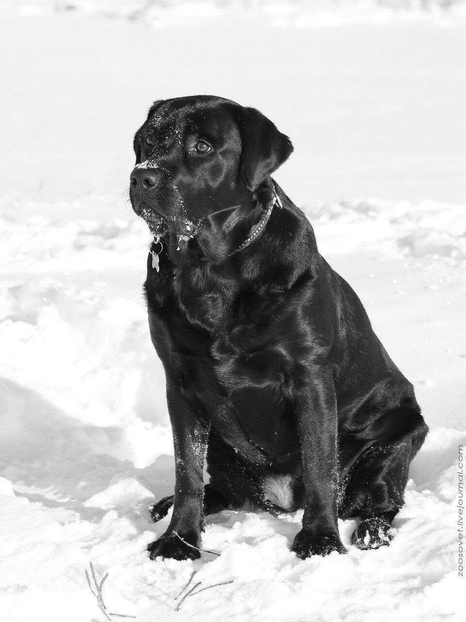 Баскервиль собака фото