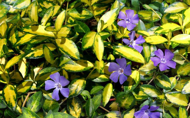 растение барвинок малый