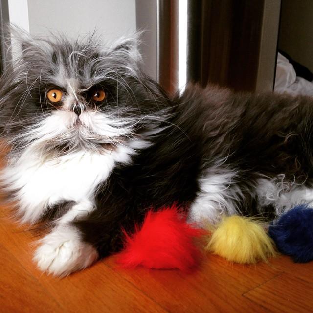 седой кот Ачум