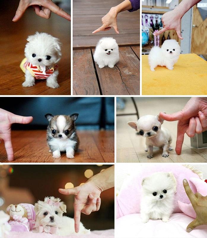 3. Маленькие собачки страдают от недостатка чувства собственного достоинства из-за того, что многие
