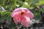 IMG_5413.JPG  сеянец розы, первое цветение в грунте
