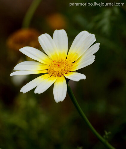 Chrysanthemum coronarium L. (Хризантема корончатая)/сложноцветные -  Asteraceae