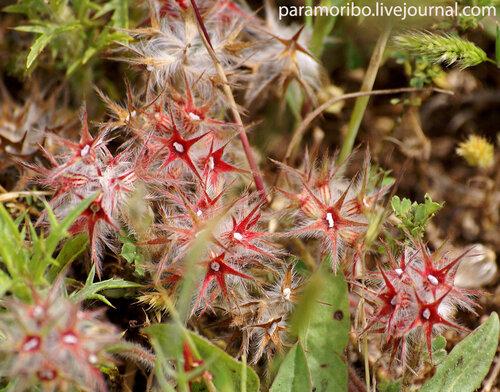 Отцветший клевер звездчатый - Trifolium stellatum L./Fabaceae - бобовые (Starry Clover)