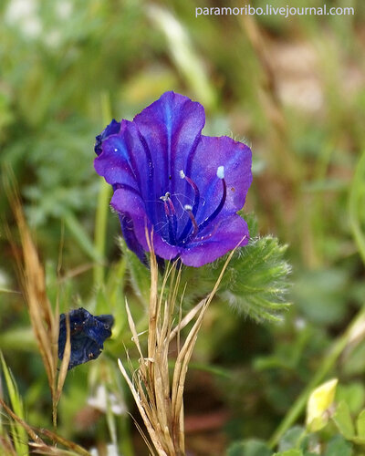 Echium plantagineum (Purple Viper's Bugloss)/Boraginaceae - бурачниковые/название произошло от греч. ёж - 'echis'