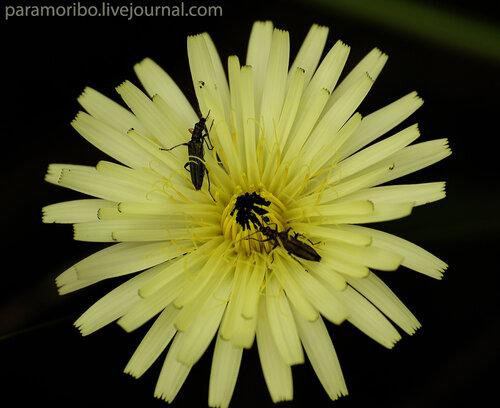Уроспермум (хвостосемянник) далешампии - Urospermum dalechampii/Сложноцветные - Asteraceae