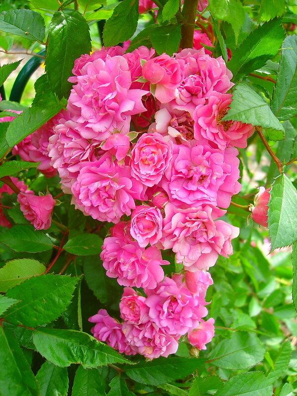 Лето,с.Остров, подворье,райский садик,розы