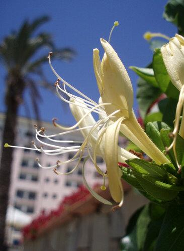 Вид на отель сквозь Каприфоль