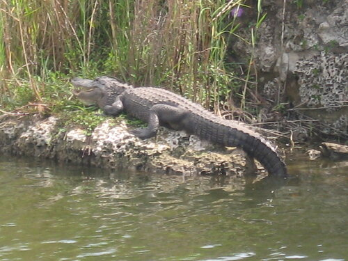 Эверглейдс, крокодиловый заповедник
