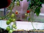 tomat0907-1.jpg