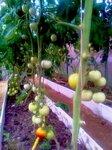 tomat0907-2.jpg
