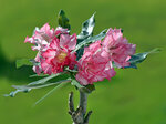 Adenium Obesum Double Flower KING BLOSSOM