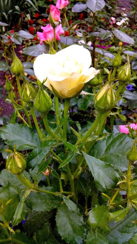 Роза-11.jpg