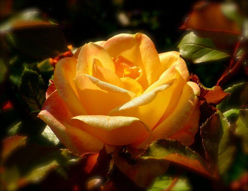 О, великолепная! Роза Strike It Rich