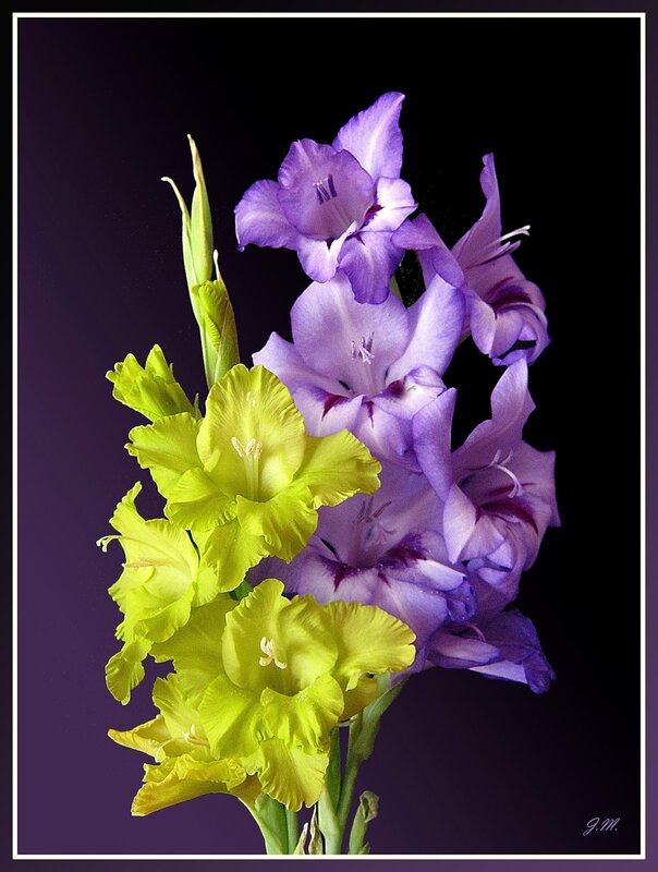 Открытки с цветами гладиолусами 931