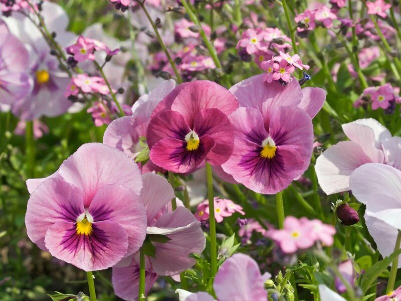 Pink pansies in a park