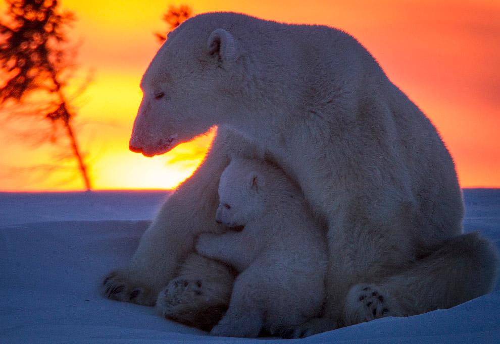 8. Белые медведи — хищники. Они обычно обитают на дрейфующих и припайных морских льдах, где охотится