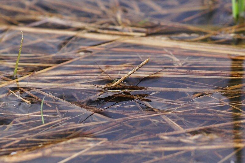 Клоп-водомерка (вероятно, Панцирная водомерка Gerris thoracicus или Водомерка рыжеватая Gerris rufoscutellatus) на поверхности воды в луже