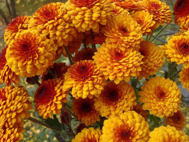 Цветы цветы осенние цветы георгины