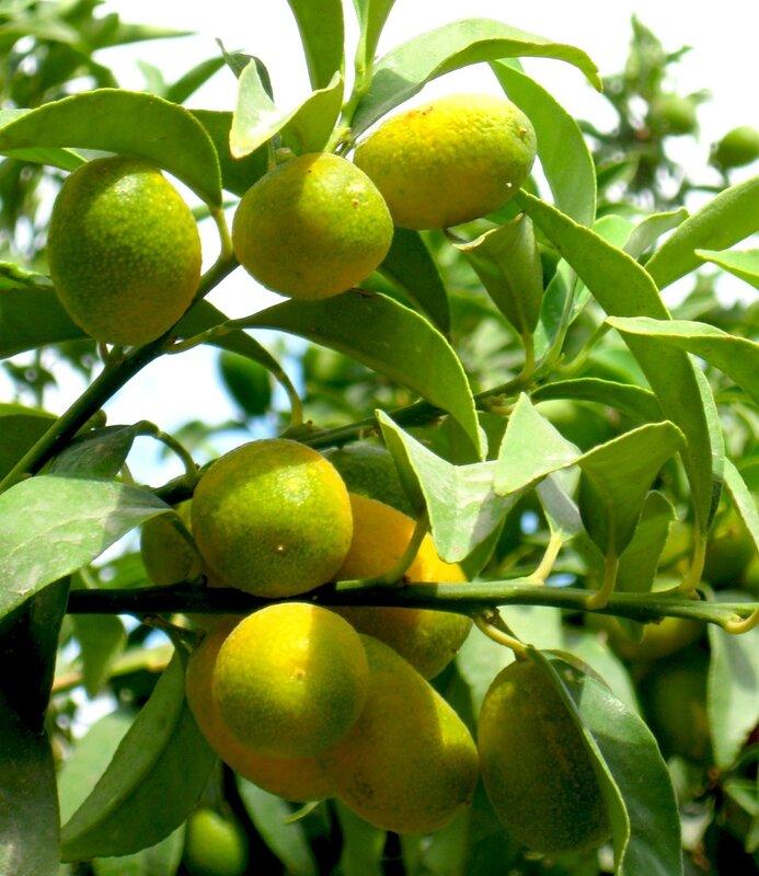 Кумкват(Китайский апельсин,Фортунелла,Кинкан)