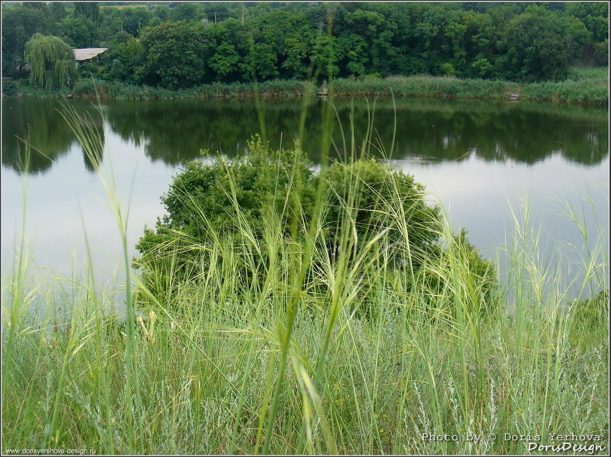 лето, ставок, Алчевск, травы, колоски, отраженье в воде, пйзаж, фото Дорис Ершовой