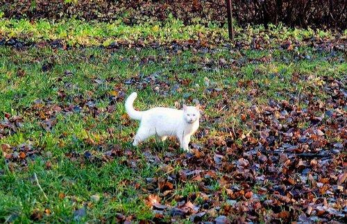 Белый кот гуляет
