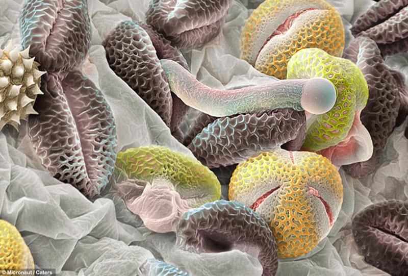 3. Серые гранулы – пыльцевые зерна от калины лавролистной. Одно из них начало превращаться в трубку,