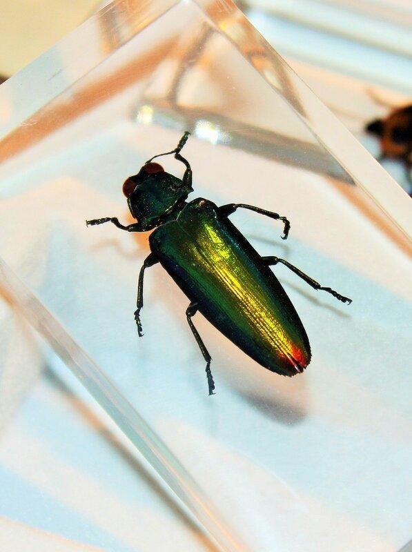Насекомые №73 - Златка (Chrysochroa fulminans)
