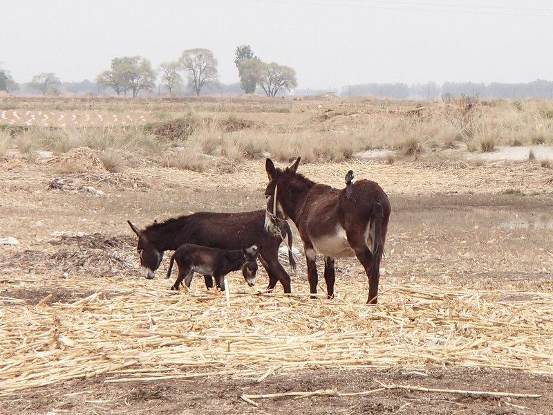 ослы в долине Хэтао, Внутренняя Монголия, Китай